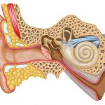 Ear Cross Section